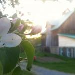 Verger en fleurs avec vue sur la grange